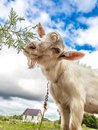Portrait of a goat eating a grass on a green meadow funny looking to camera over blue sky background focus the nose Royalty Free Stock Photography