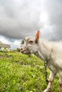 Portrait of a goat eating a grass on a green meadow funny looking to camera over blue sky background focus the nose Stock Images