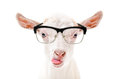 Portrait of a goat in glasses showing tongue Royalty Free Stock Photo