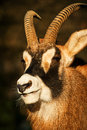 Portrait goat horns proper Stock Images