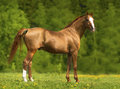 Portrait of the golden don horse in summer time Stock Image