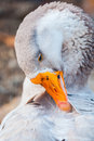 Portrait of goose cleaning his feathers Royalty Free Stock Photo