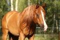 Portrait of gorgeous arabian horse Royalty Free Stock Photo