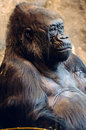 Portrait of a Gorilla Royalty Free Stock Photos