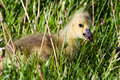 Portrait of a gosling eating a dandelion Stock Images