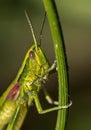 Portrait of a grasshopper close up shot outdoors shot Stock Image