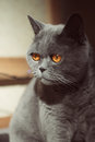 Portrait of a gray british cat close up Stock Photos