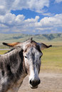 Portrait gray burro his ears down Royalty Free Stock Images