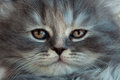 Portrait of a gray kitten Royalty Free Stock Photo