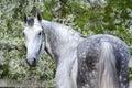 Portrait of a gray orlov trotter breed stallion Royalty Free Stock Photo