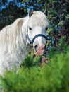 Portrait of gray welsh pony sunny day Stock Image