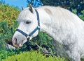 Portrait of gray welsh pony sunny day Stock Images