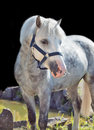 Portrait of gray welsh pony sunny day Royalty Free Stock Photography