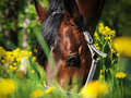 Portrait of grazing beautiful horse in bloss field Stock Images