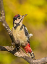 Portrait of great spotted woodpecker a close up a dendrocopos major perched on a dry branch Royalty Free Stock Photo