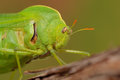 Portrait green bladder grasshopper bullacris intermedia south africa Stock Image