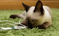 Portrait of green eyed siamese cat playing little cat on natural blur domestic background beautiful brown siamese cat a light Royalty Free Stock Photos