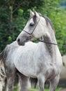 Portrait of  grey arabian stallion Royalty Free Stock Photo