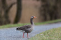 Portrait of grey goose (anser anser) crossing pathway Royalty Free Stock Photo