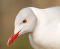 Portrait of grey headed gull chroicocephalus cirrocephalus Royalty Free Stock Photos