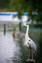 Portrait of a grey heron ardea cinerea hyde park london united kingdom Royalty Free Stock Photography