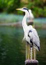 Portrait of a grey heron ardea cinerea hyde park london united kingdom Stock Image