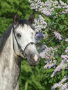 Portrait of grey horse Stock Images