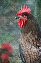 Portrait of grey maran rooster Royalty Free Stock Photo