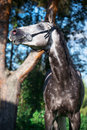 Portrait of grey sportive  horse Royalty Free Stock Photo