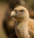 Portrait of a Griffon vulture Royalty Free Stock Photo
