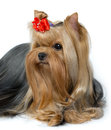 Portrait of groomed yorkshire terrier isolated on white background Royalty Free Stock Photo