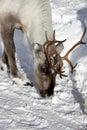 Portrait grown up adult reindeer rangifer tarandus north finland winter wonderland finnish lapland lots snow Royalty Free Stock Image
