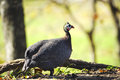 Portrait of a Guineafowl Royalty Free Stock Images
