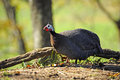 Portrait guineafowl next to log Stock Photos