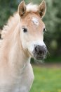 Portrait of haflinger pony foal nice Royalty Free Stock Images