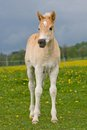 Portrait of haflinger pony foal nice Stock Photo
