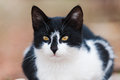 Portrait of a handsome black and white cat Royalty Free Stock Photo