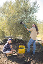 Portrait of happy farmers harvesting olive with rack Royalty Free Stock Photo