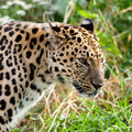 Portrait Head Shot of Adult Amur Leopard Royalty Free Stock Photos