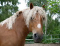 Portrait of a heavy draft horse Royalty Free Stock Photos
