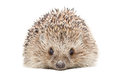 Portrait of a hedgehog Royalty Free Stock Photo