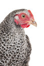 Portrait of a hen isolated Stock Photos