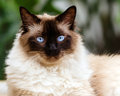 Portrait of himalayan cat outdoors Stock Photos