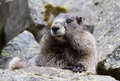 Portrait hoary marmot a of a curious in the summer months Stock Photo