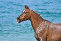Portrait of horse on a background of ocean waves. Royalty Free Stock Photo