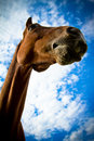 Portrait of a horse from below with blue skies beautiful in summer Royalty Free Stock Photography