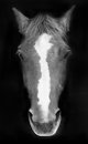 Portrait of a horse in black and white Royalty Free Stock Photo