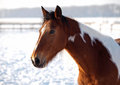 Portrait of horse of breed of pinto on a natural winter background Royalty Free Stock Image