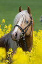 Portrait of horse in the colza field Stock Image