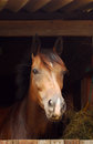 Portrait of horse in stable head a brown attentive standing the and watching focus on s face Stock Photography